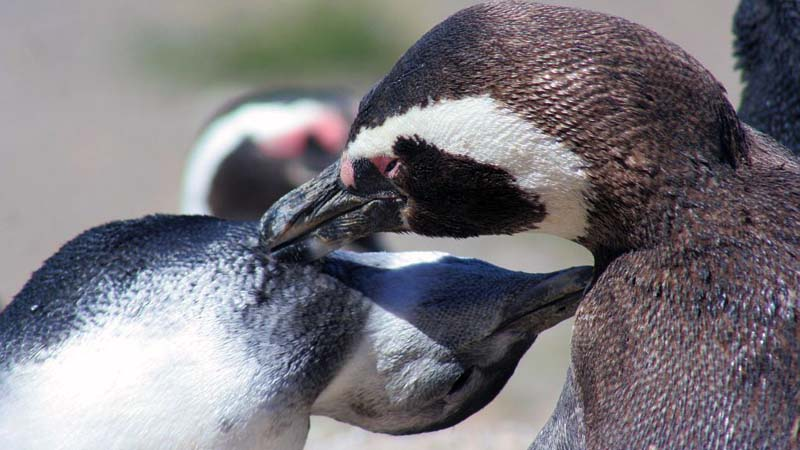 Puerto Madryn – Magellanic Penguins