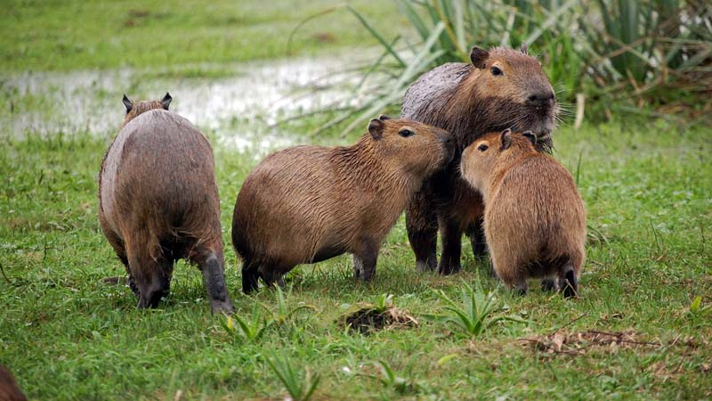 EEsteros del Iberá – Capybaras and their Young
